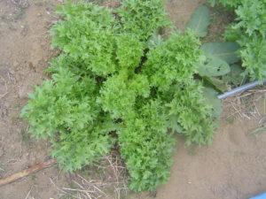 野菜が育ってます