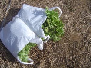 2020.12.21 新たな野菜の収穫