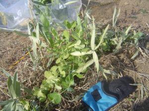 秋植えた野菜の成長、収穫