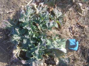 寒さで成長の遅い野菜達