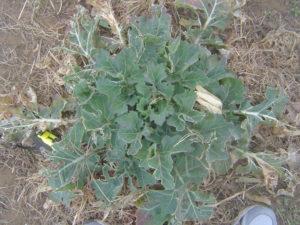 のらぼう菜も少し成長しました。